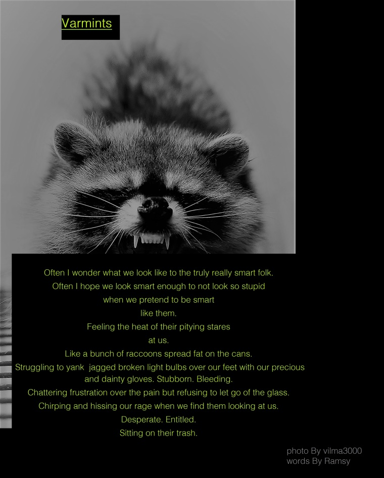 raccoon, open mouth, teeth
