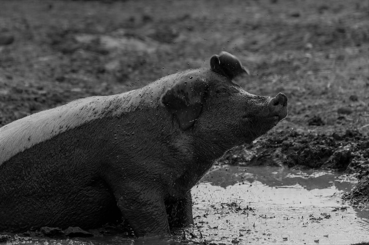 Pig in the mud on a farm in Finland