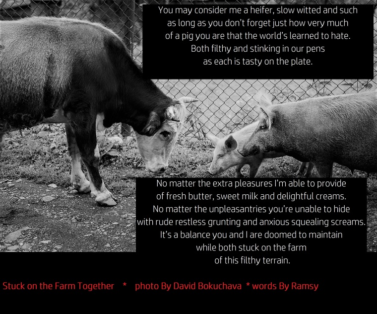 Life on a farm. Bull and pig with a cheerful piglet meet each other. Bull shows aggression towards the sow. Mother pig will grunt shortly and aggressively. After that they all will go away in peace
