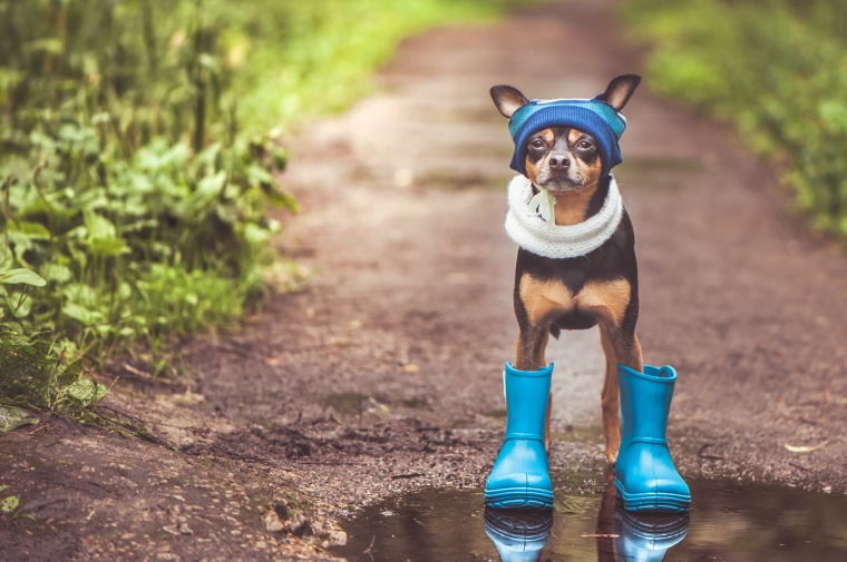 Funny dog in a cap and rubber boots standing in a puddle on a forest path, the theme of rainy weather, space for text